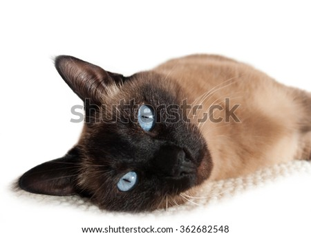 Relaxed siamese cat with blue eyes lying on it's side and staring in the lenses - white background. - stock photo