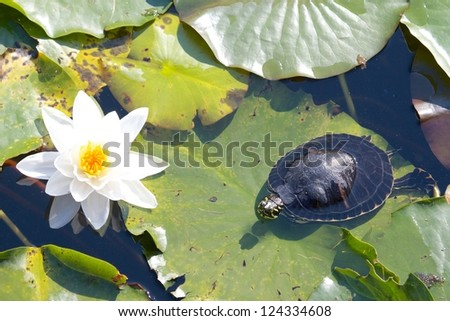 Relaxed snapping turtle - also called snapper - sitting on the leaves of a beautiful water lily - stock photo