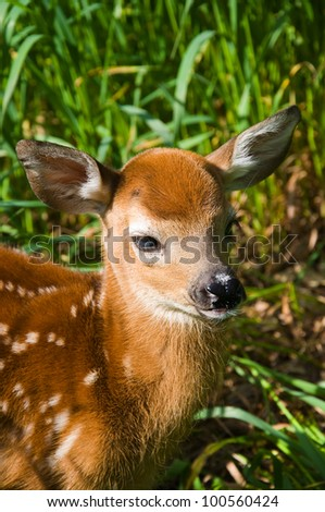 Relaxed Whitetail Deer Fawn - stock photo