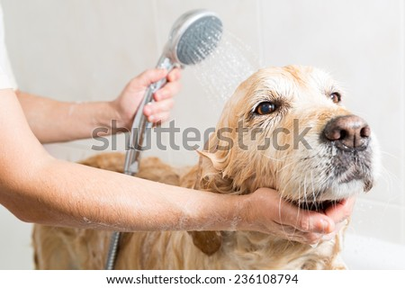 Relaxing bath foam to a Golden Retriever dog - stock photo