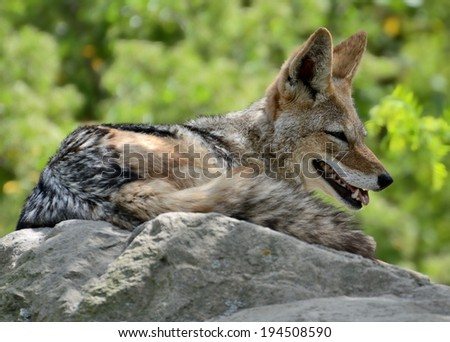 Relaxing Black - backed Jackal (Canis mesomelas)  - stock photo