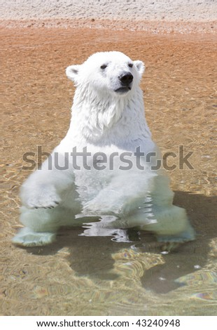 Relaxing Polar Bear - stock photo