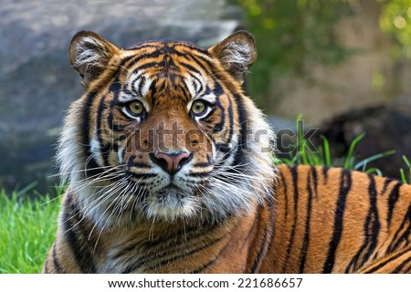 relaxing tiger (Sumatran tiger) looking straight into the camera, portrait