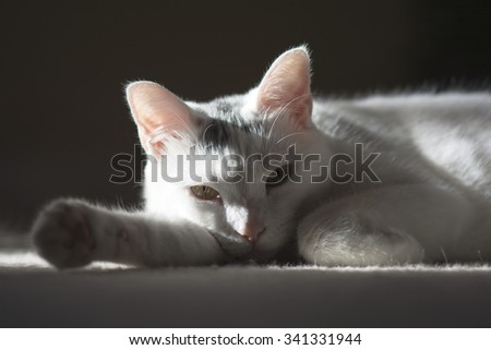 Relaxing white cat laying down sunbathing on the carpet floor, cute animal, close up cat portrait - stock photo