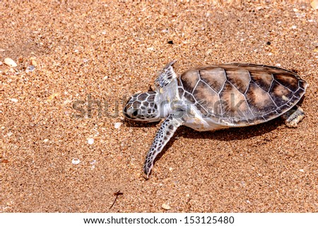 Release baby turtle - stock photo