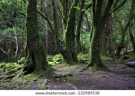 Relict forest in the Torc Mountain. Killarney National Park.