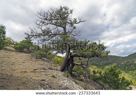 Relict juniper tree in the Crimean mountains.