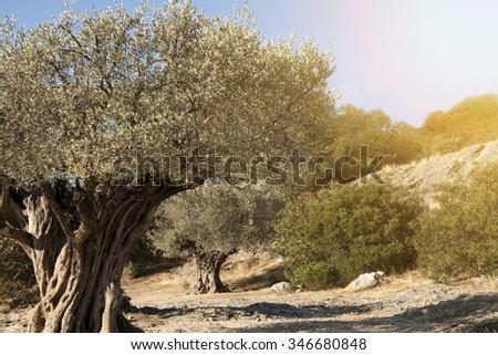Religion symbol - beautiful old olive trees - stock photo