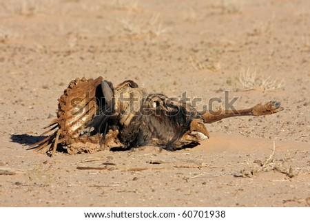 Remains of dead blue wildebeest, Kalahari desert, South Africa - stock photo
