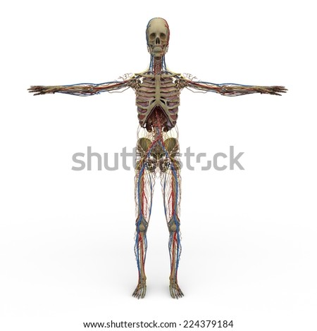 rendered illustration of Realistic detailed and anatomically Male Anatomy, are shown Circulatory-System, Skelete, Nervous-System, Respiratory-System, Lymphatic-System - stock photo
