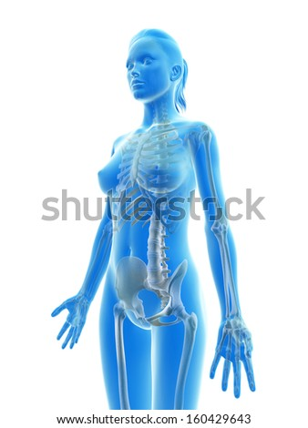 rendered illustration of the female skeleton