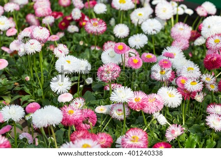Repeated white, pink and red flowers of daisies, selective focus. Beautiful flower