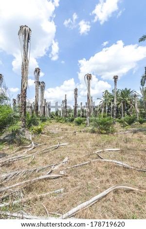 Replanting oil palm at estate plantation - stock photo
