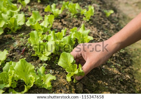 replanting young lettuce plant in the field - stock photo