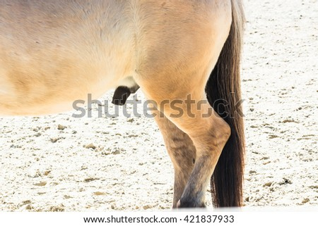 Reproductive Organ, penis of a small horse, pony