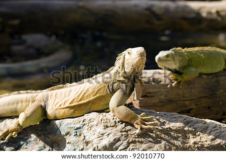 Reptile animal nature wildlife green iguana lizard - stock photo