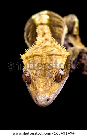 Reptile close up on black background with copy space - stock photo