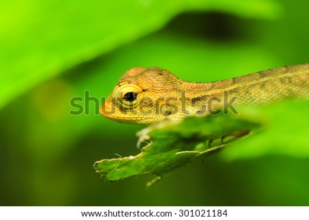 Reptile iguana on a nature background.