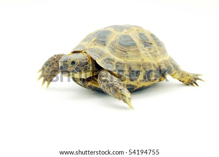 Reptile turtle isolated on white - stock photo
