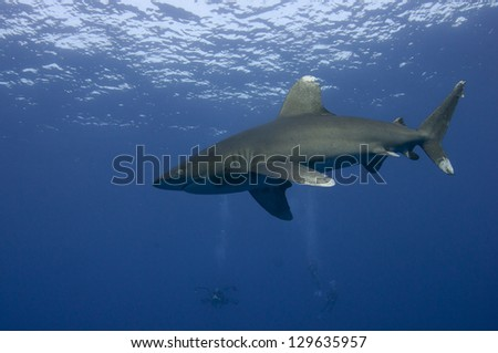 Requin oc�©anique �  Elphinstone Reef Egypte