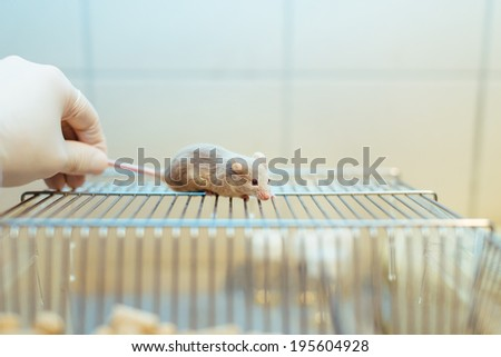 Researcher holding a lab mouse by its tail on the home cage - stock photo