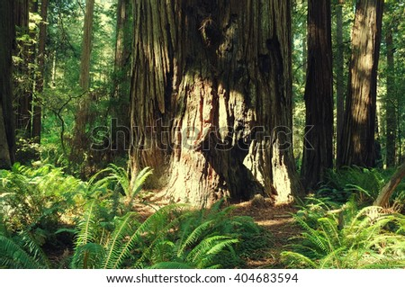 Reserved virgin grove. Old sequoia in Stout Trail, coastal redwood forest near Crescent City, California. Old-growth at Jedediah Smith Redwood State Park. West pacific american coast. - stock photo