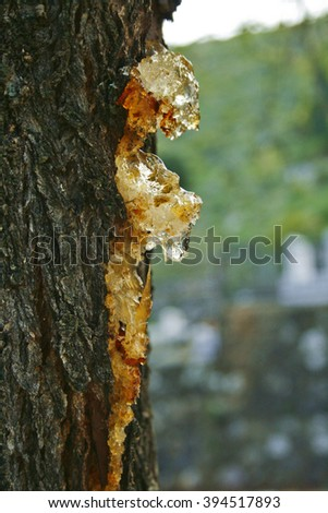 Resin drops on the tree