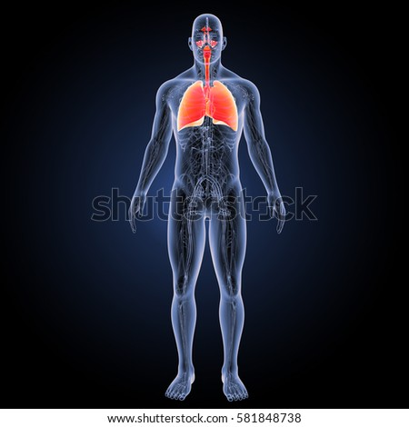 Respiratory system anterior view 3d illustration
