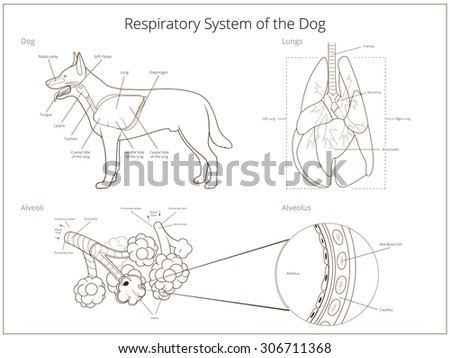 respiratory system of the dog raster version - Animal Anatomy Coloring Book