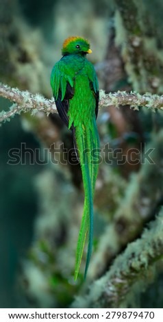 Resplendent Quetzal, Pharomachrus mocinno, magnificent sacred green bird with very long tail from Savegre in Costa Rica  - stock photo