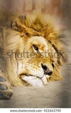 Rest Lion Portrait in Sunny day - stock photo