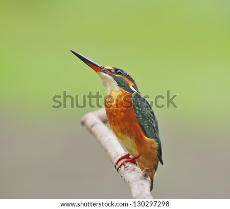 Resting and waiting of beautiful female Common Kingfisher (Alcedo athis) on a branch