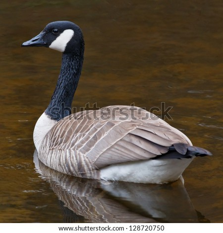 Resting Canada Goose resting on calm waters in a pond - stock photo