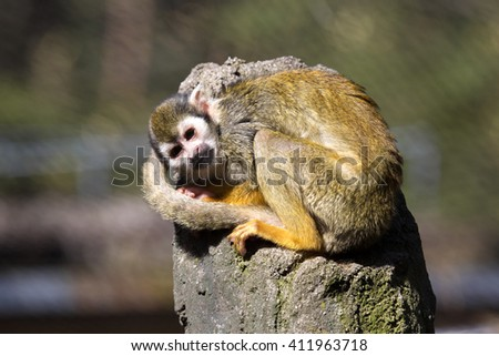 Resting Common squirrel monkey, Saimiri sciureus,