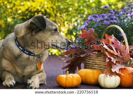 Resting dog profile looking at pumpkins and fall leaves - stock photo