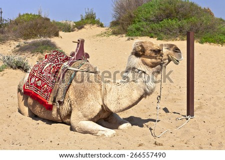 Resting dromedary also called the Arabian camel (Camelus dromedarius). - stock photo