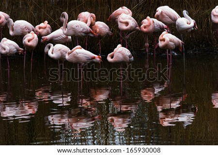 Resting Flamingo group in water with reflection - stock photo
