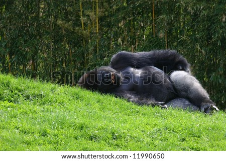 Resting Gorilla with Unique Expression