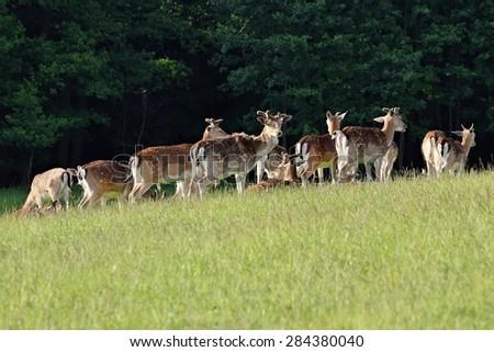 Resting herd of fallow deer on the meadow. Fallow - (Dama dama ) - stock photo