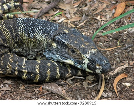 Resting Lace Goanna (Varanus varius) or lace monitor - stock photo