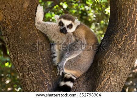 Resting Lemur on the tree (gorizontal), Ring-tailed Lemur (Lemur catta) - stock photo