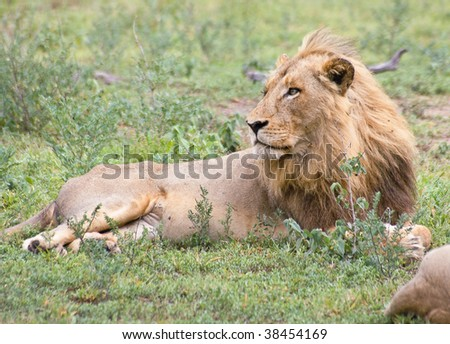 Resting lion - stock photo