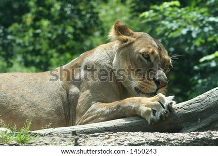 resting lioness - stock photo