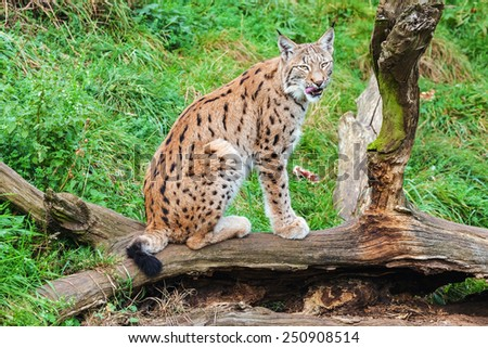Resting lynx. A magnificent European lynx stares towards the camera from its perch on a fallen tree. - stock photo