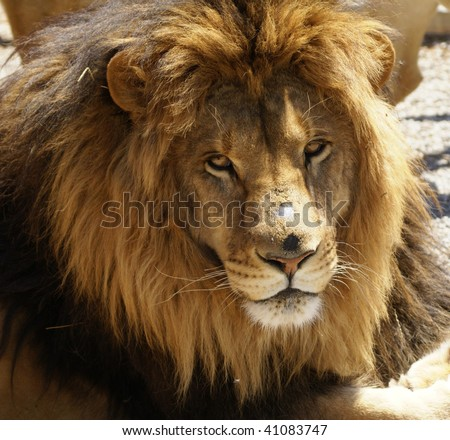 Resting Male lion with large mane