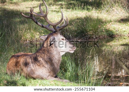 resting male red deer with big antlers at a lake in summer; Germany, Europe