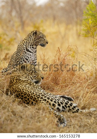 Resting Mating Leopards - stock photo
