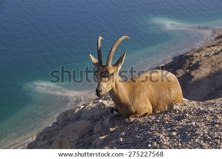 Resting Nubain ibex near Ein Gedi. Blue Dead Sea on Background, Israel