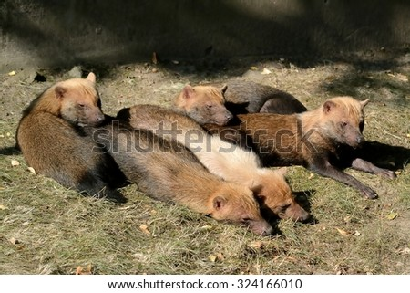 Resting pack of Bush Dogs  (Speothos venaticus) - stock photo