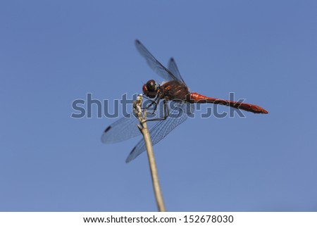 Resting red dragonfly  - stock photo